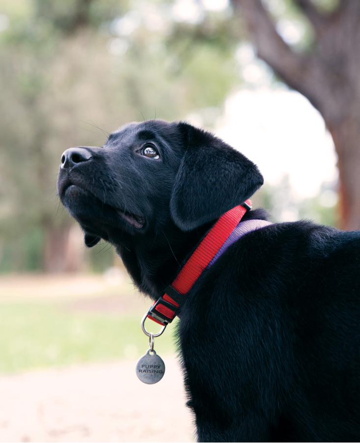 black labrador looking up and off camera