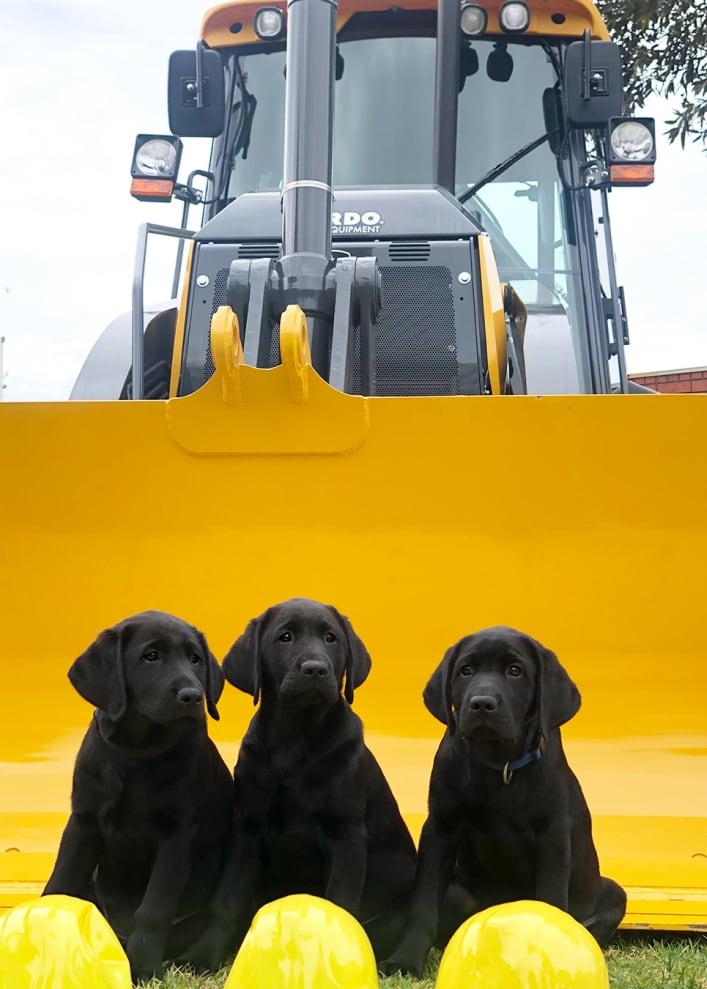 3 black labrador puppies in a tractor bucket