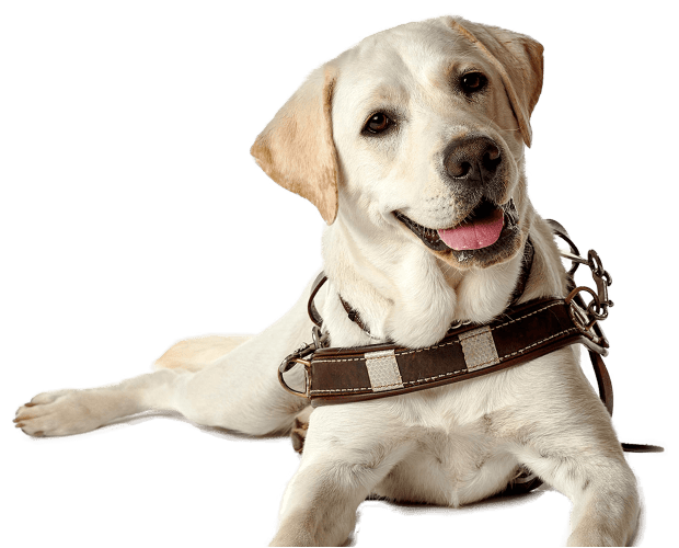 A golden Labrador in a Guide Dog harness laying and facing the camera