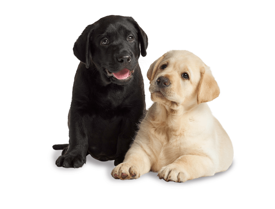 A black and a yellow Labrador puppy sitting next to each other.
