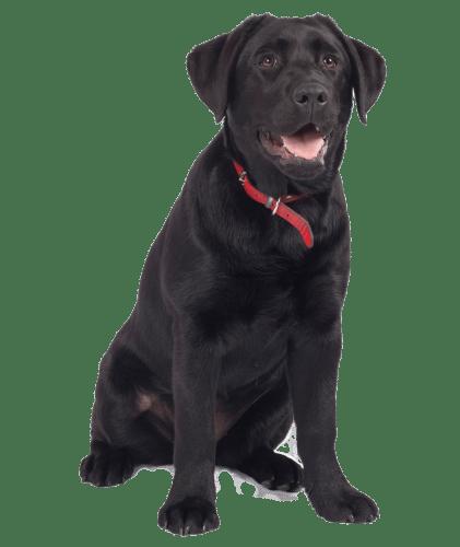 A black Labrador smiling at the camera