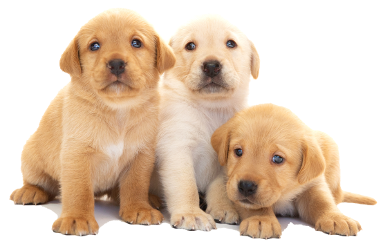 Three yellow Labrador puppies sitting together