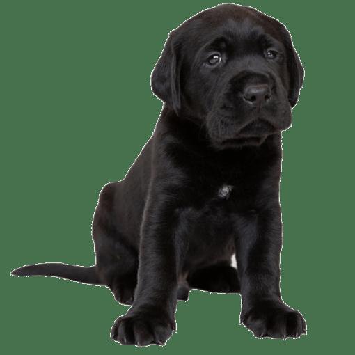 A black Labrador puppy