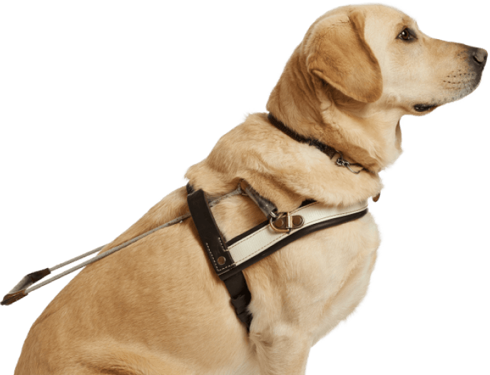 A golden Labrador in a Guide Dog harness