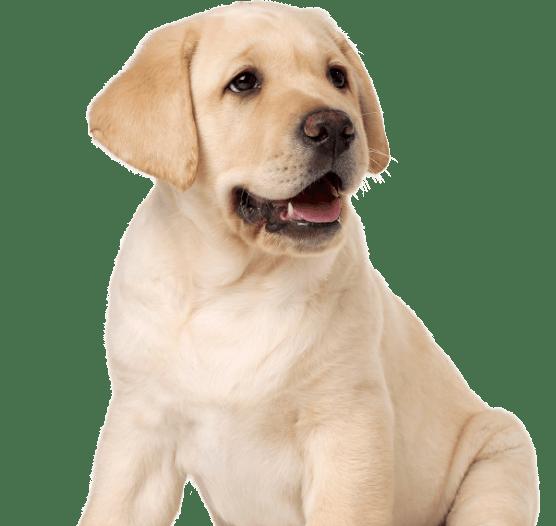 A yellow Labrador puppy