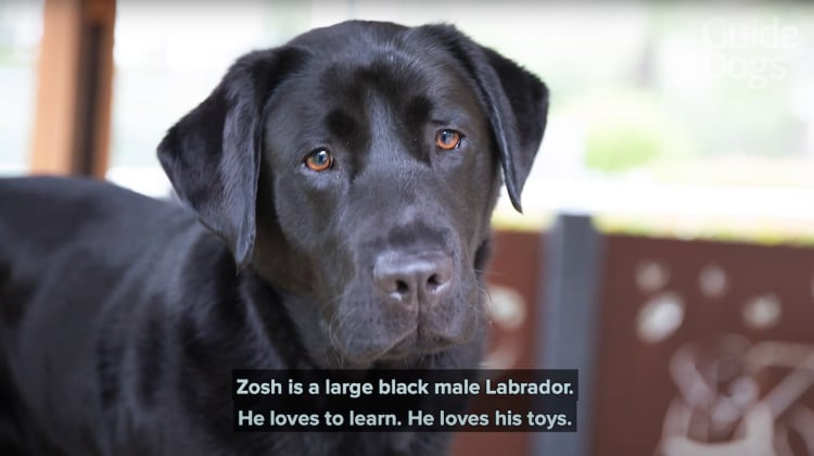 Thumbnail from a YouTube video showing a black Labrador