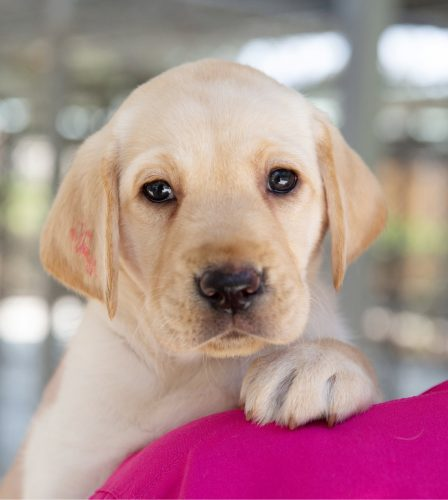 A yellow eight week old labrador puppy on the shoulder of a person. The puppy is looking at the camera.