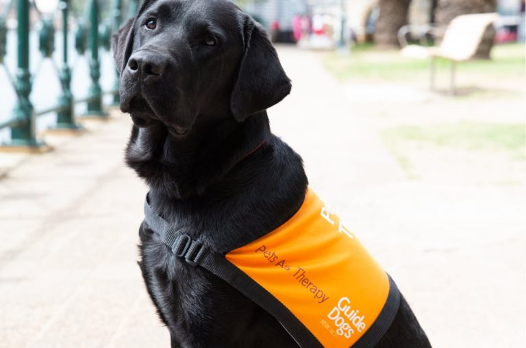 A black labrador Pets as Therapy Dog. The dog is seated outside on its back legs and it's wearing a Pets as Therapy dog coat. The dog is looking at the camera with its head tilted slightly.