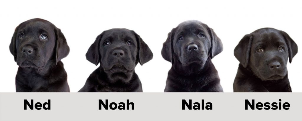 4 Black Labrador puppies with the names Ned, Noah, Nala and Nessie